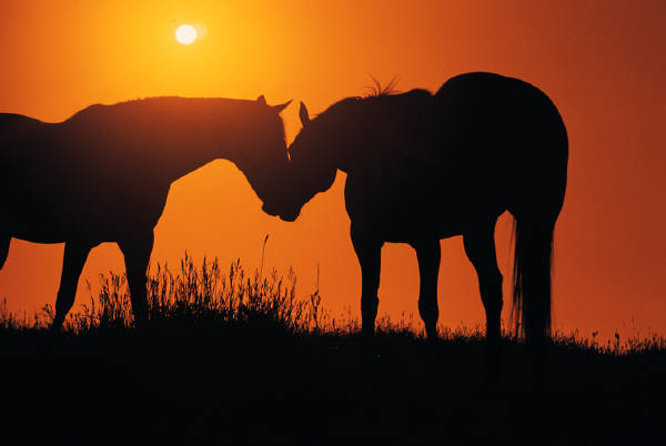 Two-horses-in-a-field